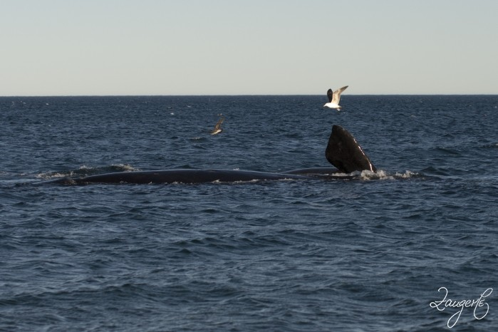 Puerto Madryn - Whales 02