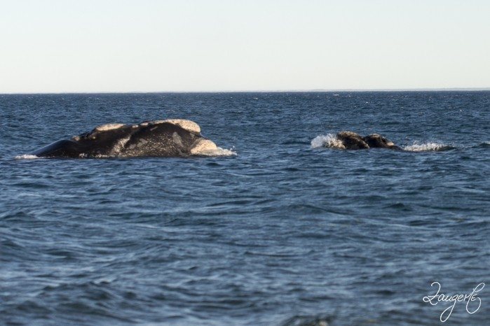 Puerto Madryn - Whales 03