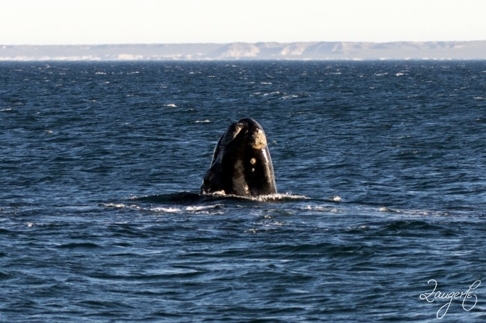 Puerto Madryn - Whales 04
