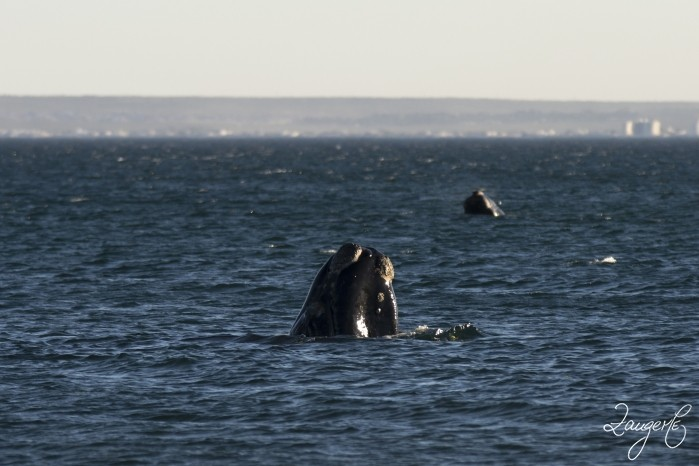 Puerto Madryn - Whales 06