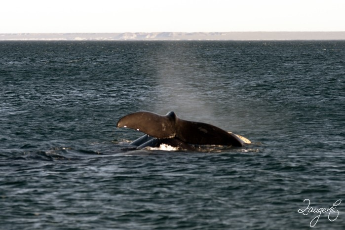Puerto Madryn - Whales 07
