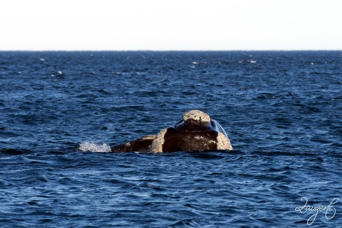 Puerto Madryn - Whales 09