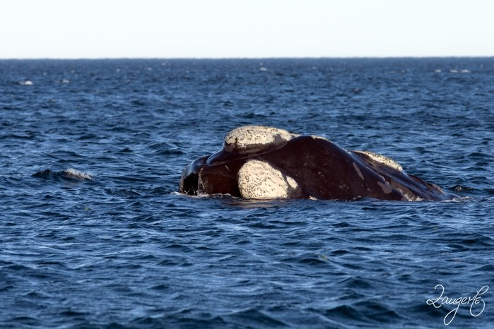 Puerto Madryn - Whales 10