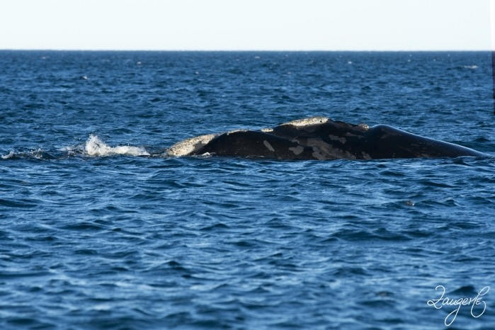 Puerto Madryn - Whales 11