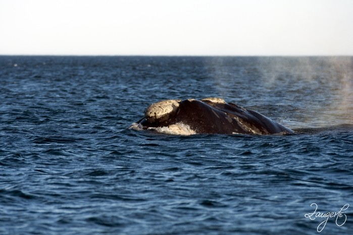 Puerto Madryn - Whales 14