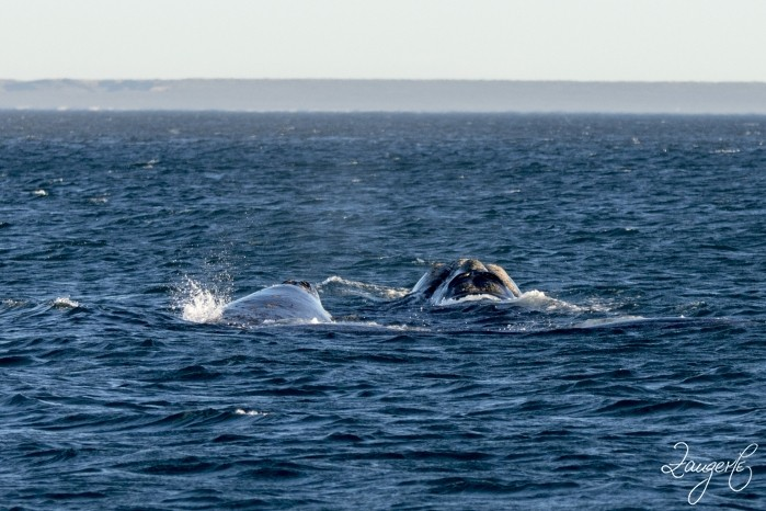 Puerto Madryn - Whales 18